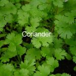 Coriander – How To & Journal