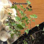 Marjoram – How To & Journal