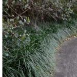 Mondo Grass – Ophiopogon japonicus