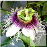 Passionfruit – Passiflora Panama Gold