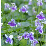 Flower – Viola hederacea – native violet