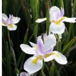 Flower – Iris; Wild – Dietes grandiflora